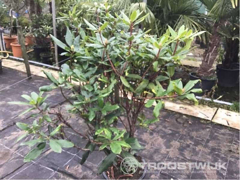 Rhododendron ponticum 80-100